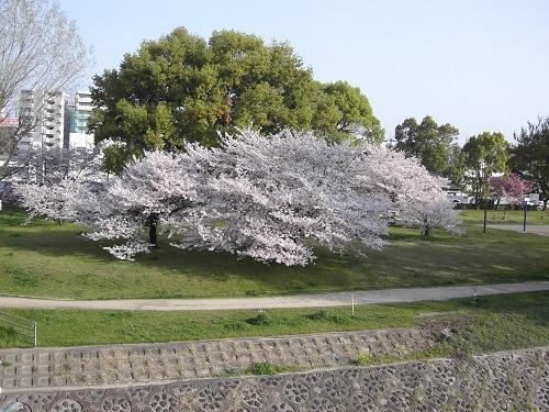 20180401_桜・満開2