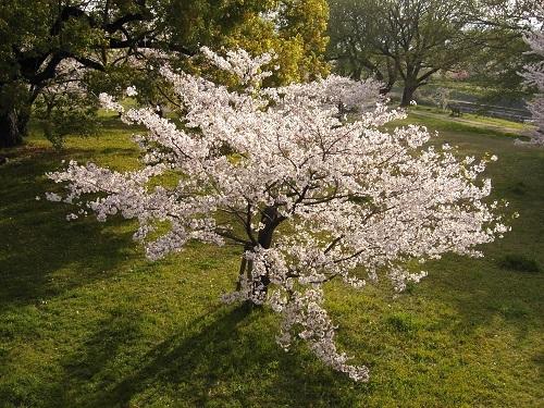 20180401_桜・満開5