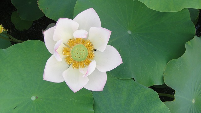 white-lotus-flower-888163_640.jpg
