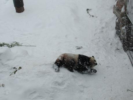 雪と戯れるパンダ