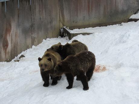 クマの群れ