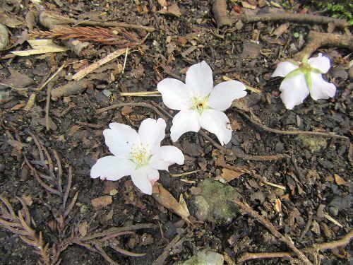オオシマザクラ花
