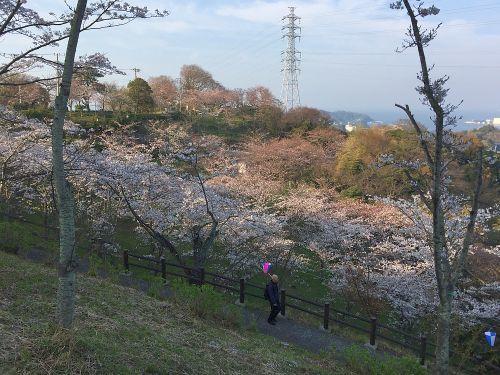 塚山公園の桜