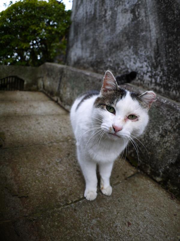 スロープの白キジ猫1