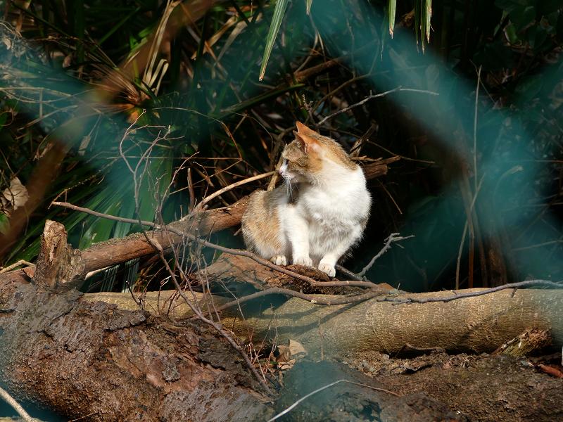倒木の三毛猫1