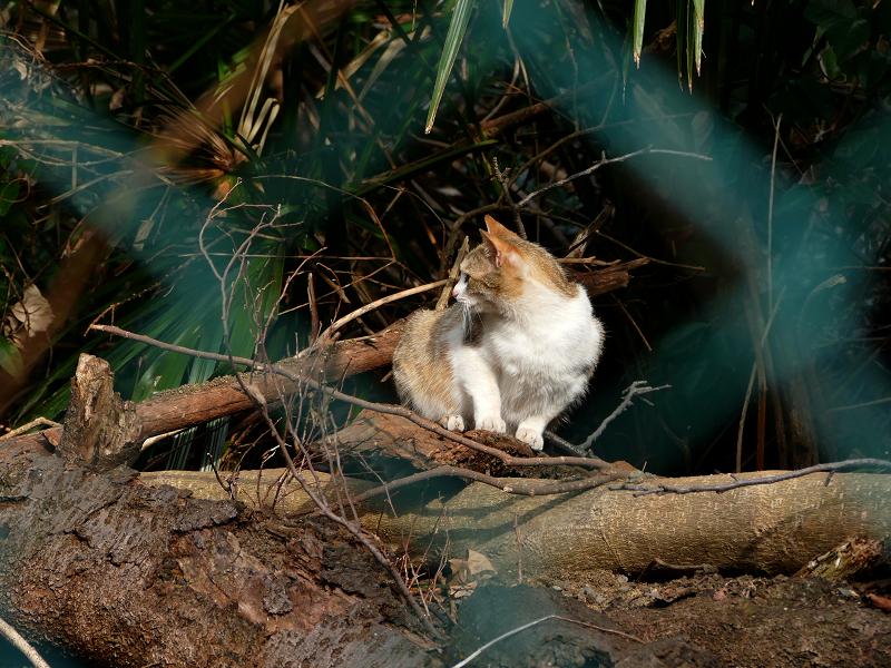 倒木の三毛猫2