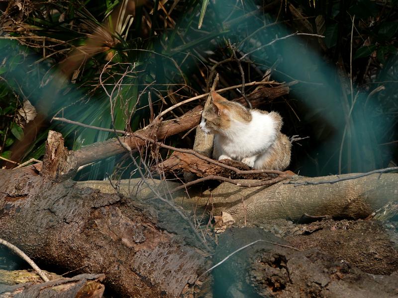 倒木の三毛猫3