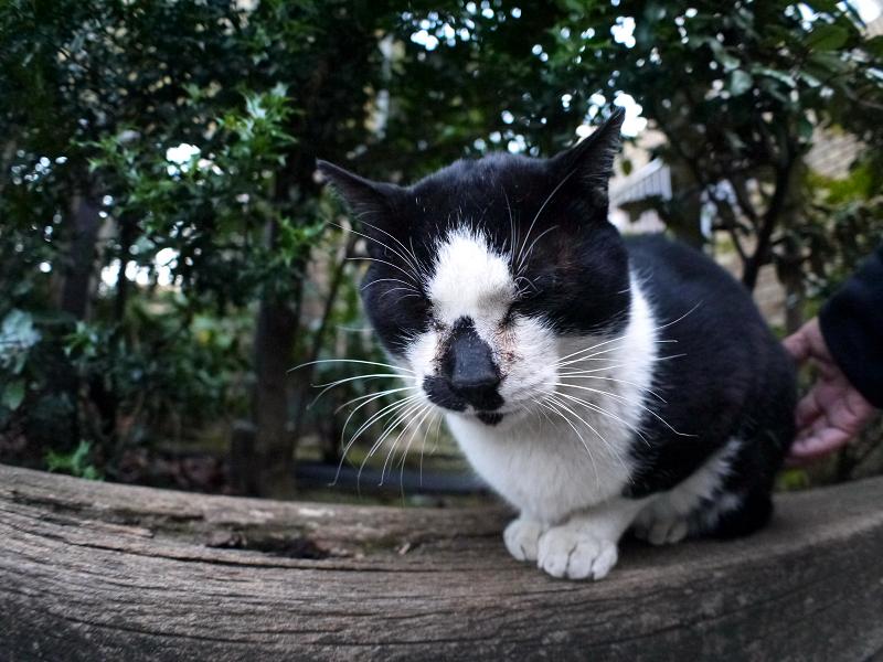 枕木の黒白猫1