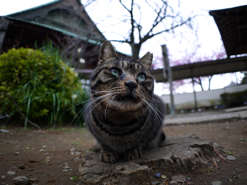 切り株のキジトラ猫1