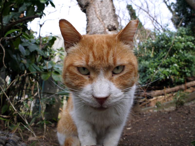 魚眼を睨む茶白猫1