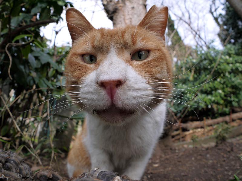 魚眼を睨む茶白猫2