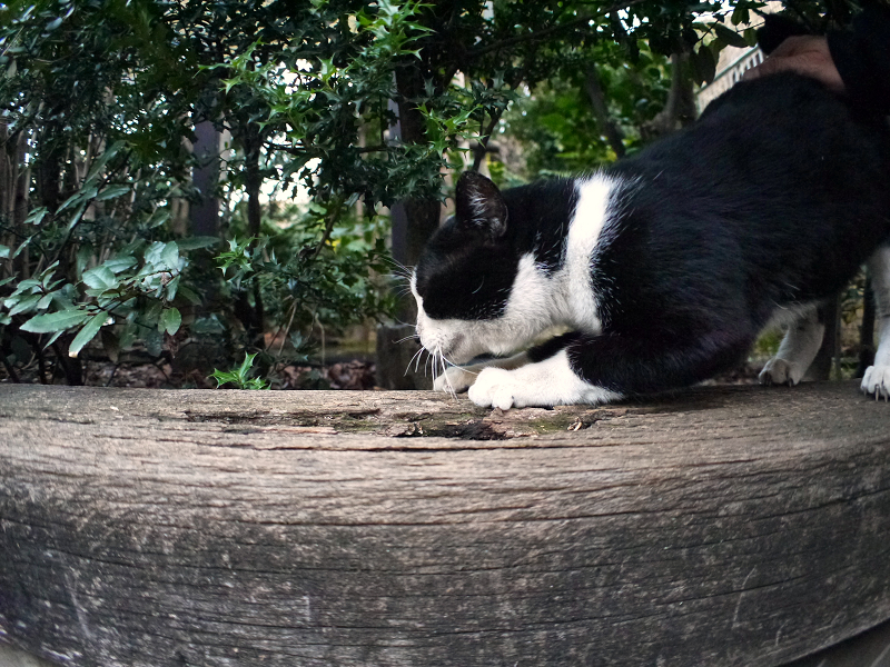 枕木に爪研ぎする黒白猫1