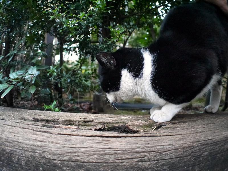 枕木に爪研ぎする黒白猫3