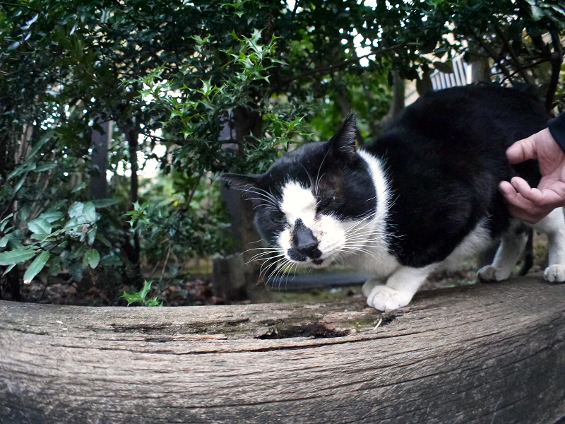 枕木に爪研ぎする黒白猫4