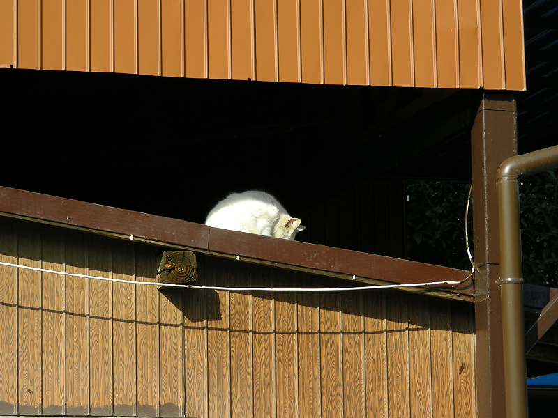 物置の白猫2