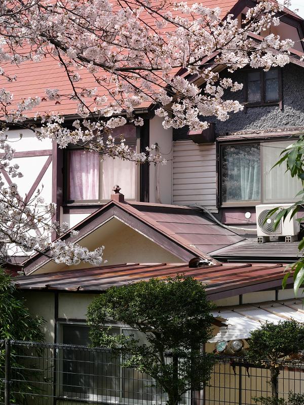 サクラと民家屋根の猫1