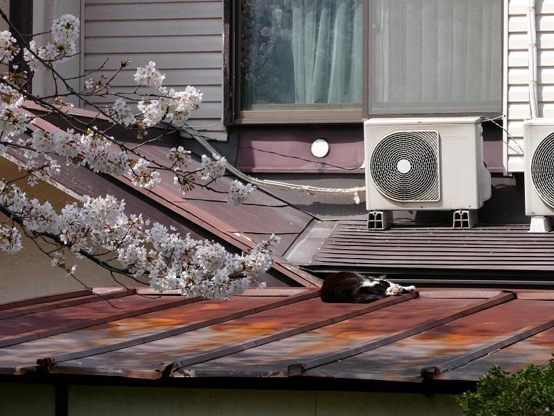 サクラと民家屋根の猫2