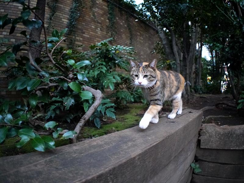 四角い木の上を歩く三毛猫1