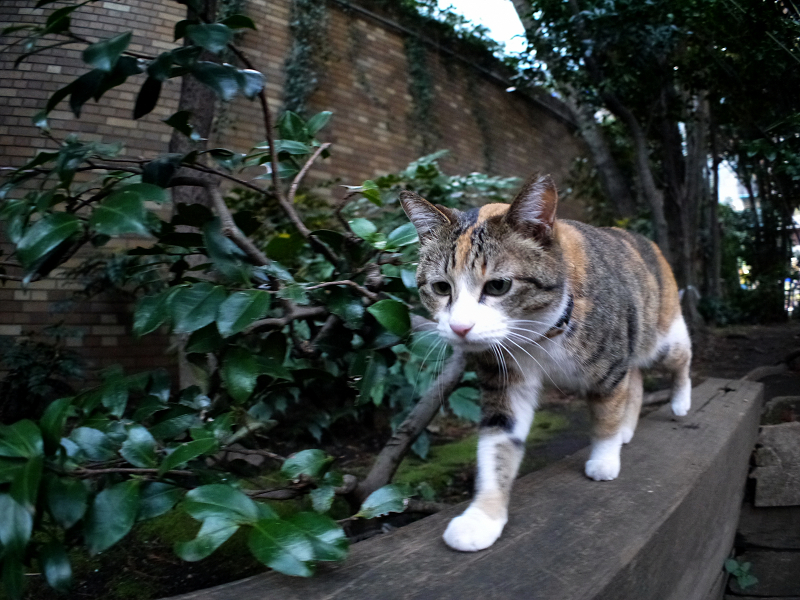 四角い木の上を歩く三毛猫2