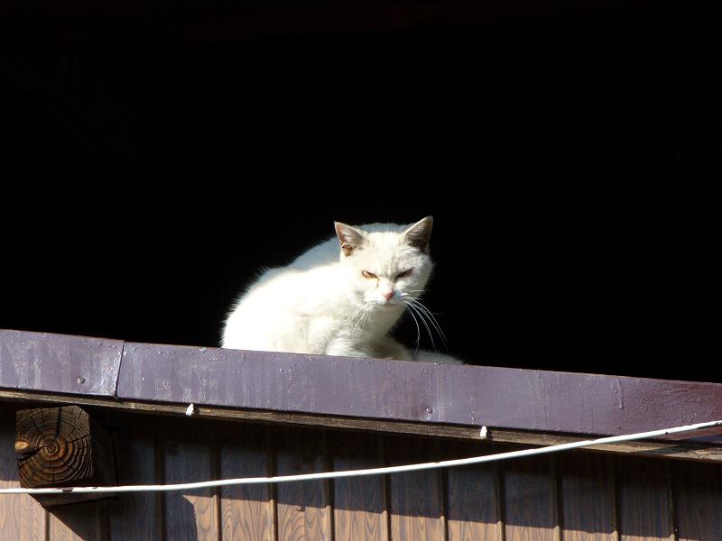 日差しと白猫1