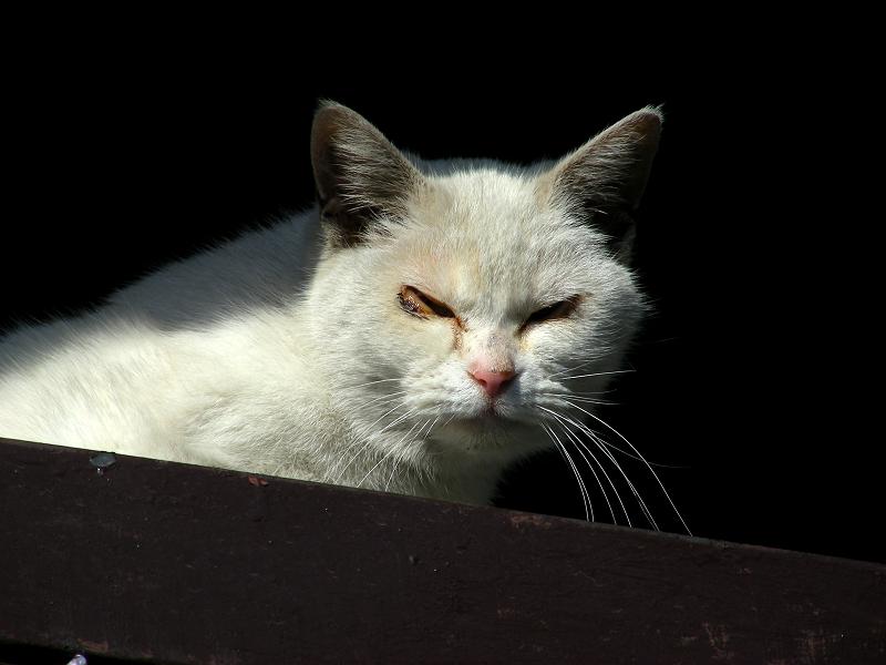 日差しと白猫2