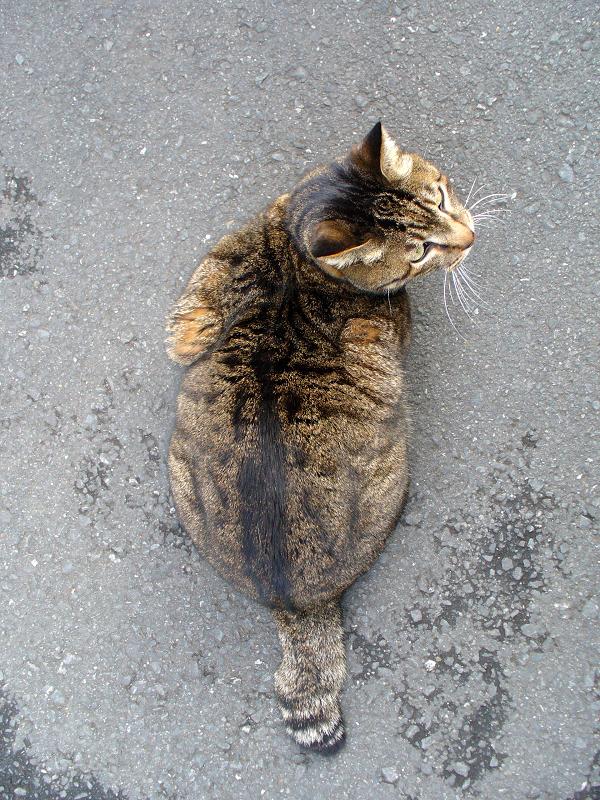 質屋のキジトラ猫2