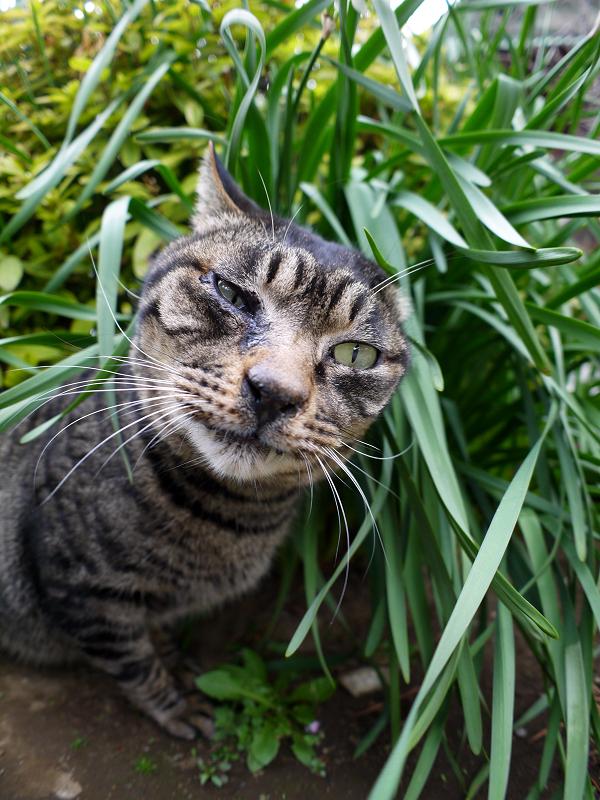 葉っぱとベロを出すキジトラ猫2