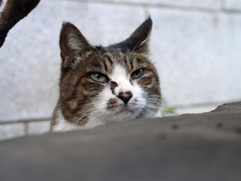 目脂のキジ白猫2