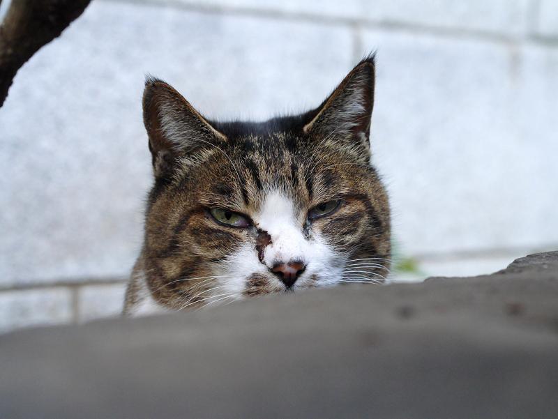 目脂のキジ白猫3