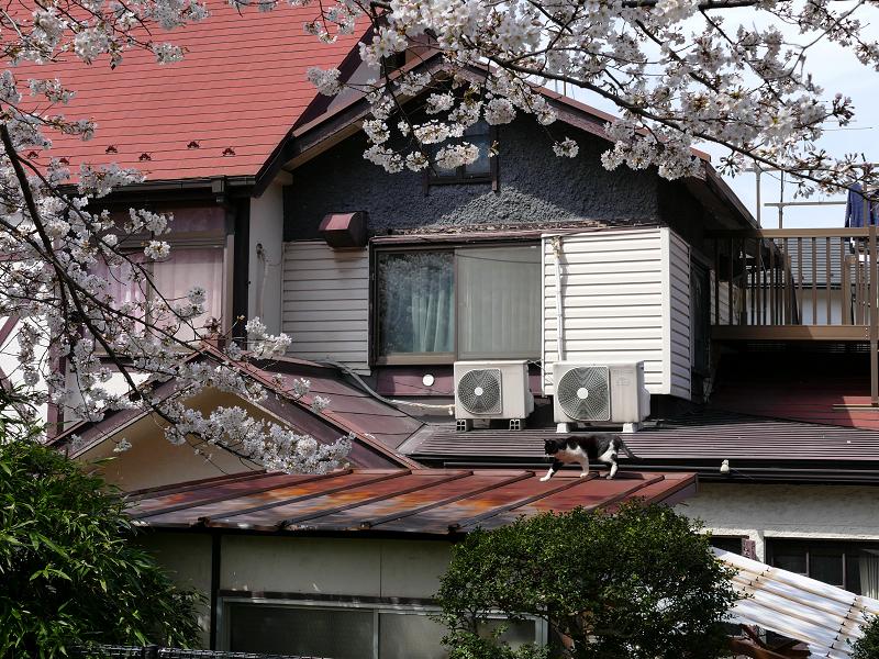 サクラと屋根を歩く黒白猫1