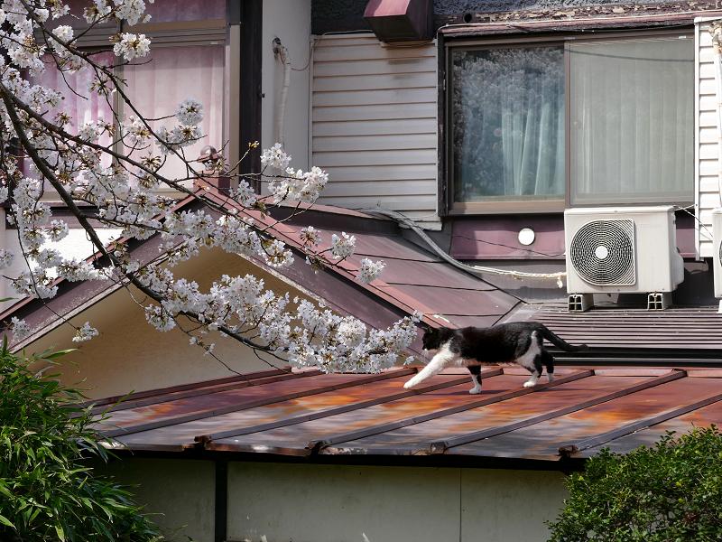 サクラと屋根を歩く黒白猫2