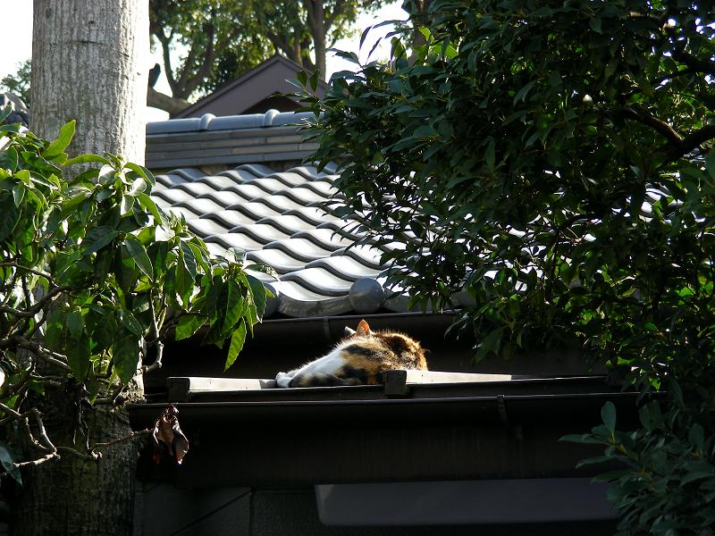 屋根で寝ている三毛猫1