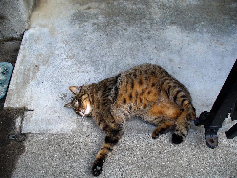 目の前で転がるキジトラ猫1