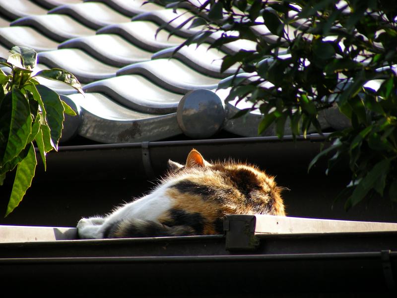 屋根で寝ている三毛猫2