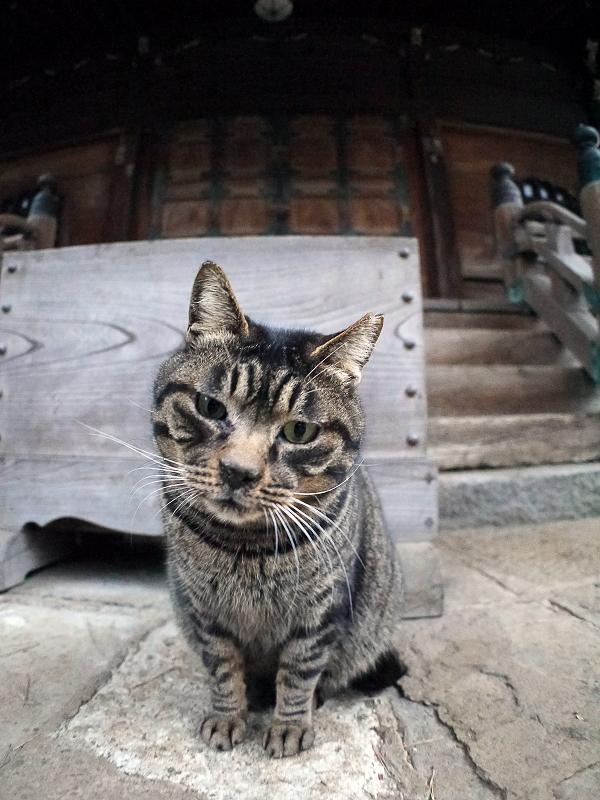 堂前のキジトラ猫1
