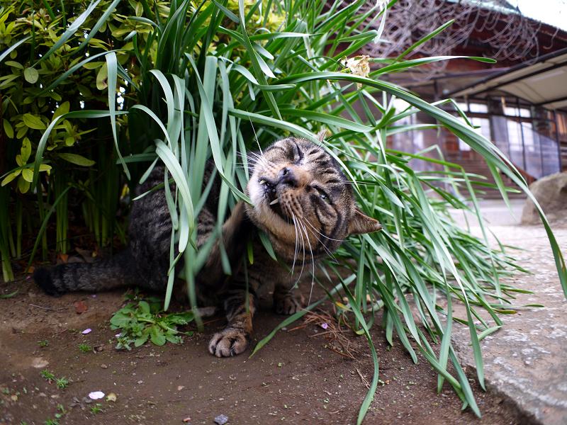 草葉でカキカキするキジトラ猫1