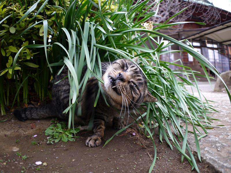 草葉でカキカキするキジトラ猫2