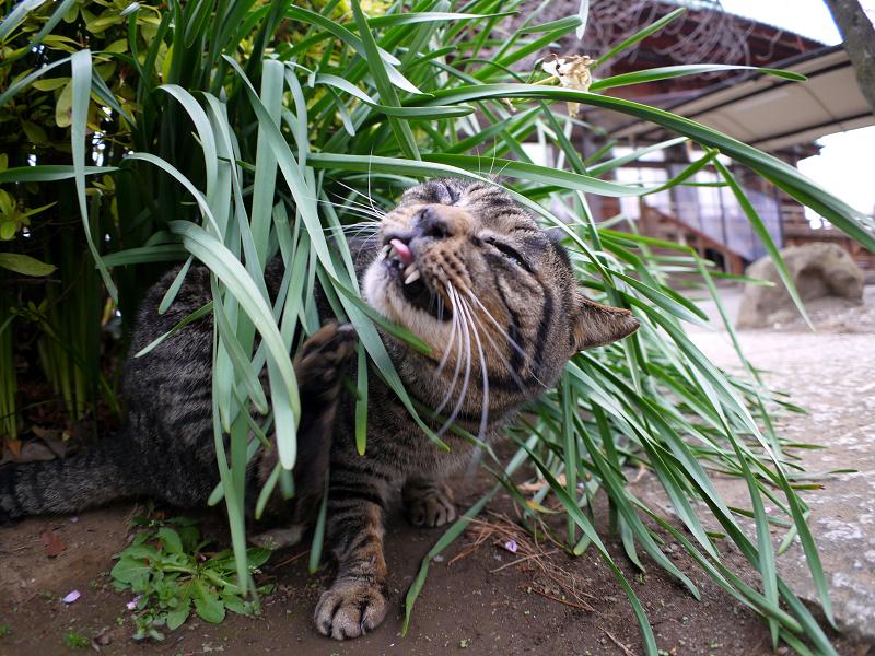 草葉でカキカキするキジトラ猫3