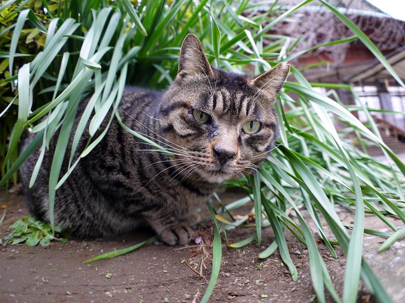 草葉でカキカキするキジトラ猫4