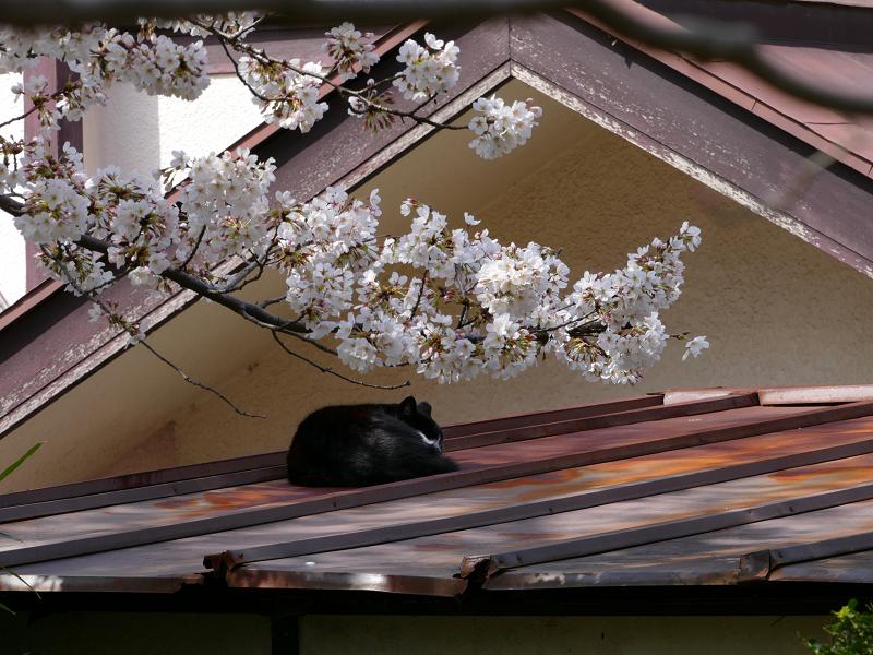 サクラと屋根で寝ていた黒白猫1