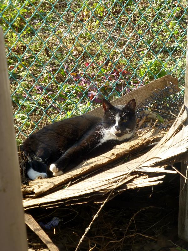 日差しと黒白猫1