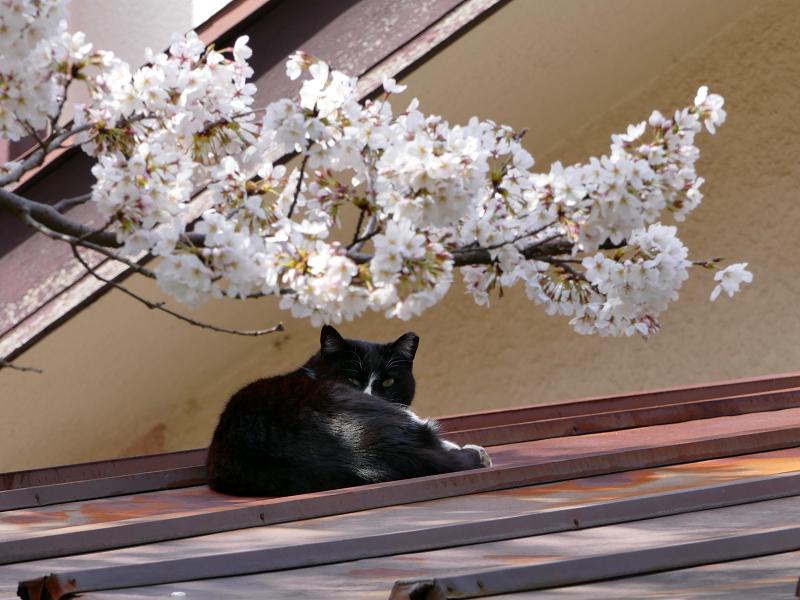 サクラと屋根で寝ていた黒白猫2