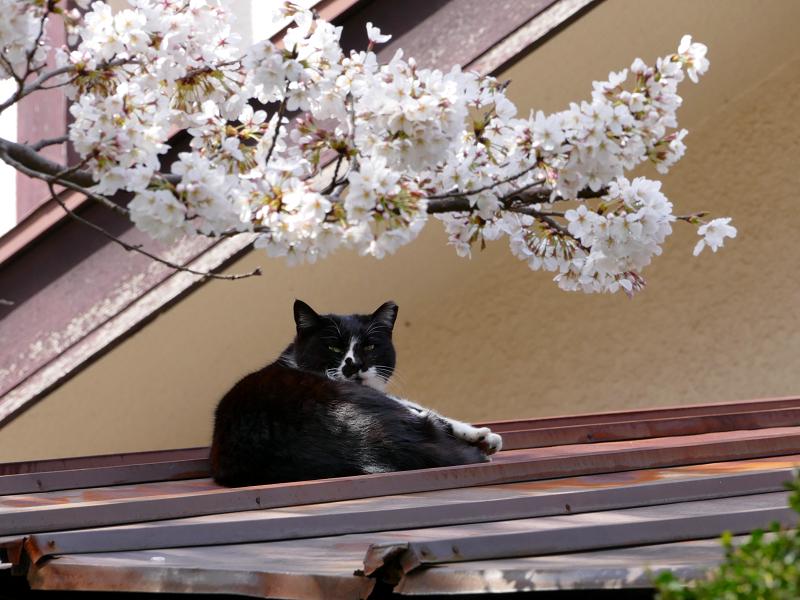 サクラと屋根で寝ていた黒白猫3