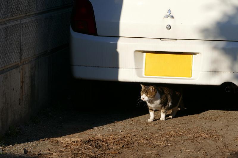 車の後ろのキジ白猫1