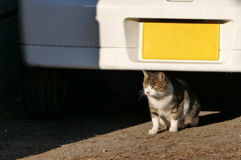車の後ろのキジ白猫2
