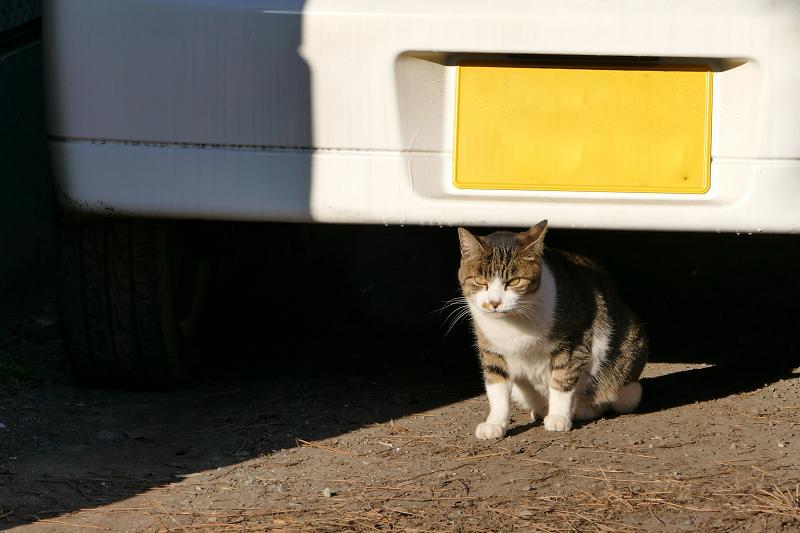 車の後ろのキジ白猫3