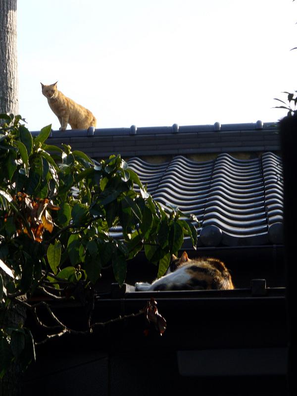 屋根瓦を歩く茶トラ猫1