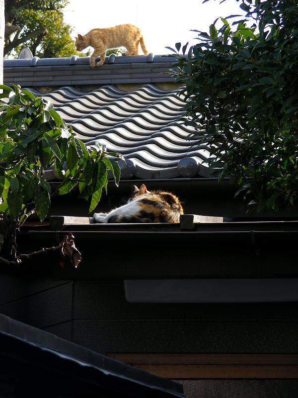 屋根瓦を歩く茶トラ猫2