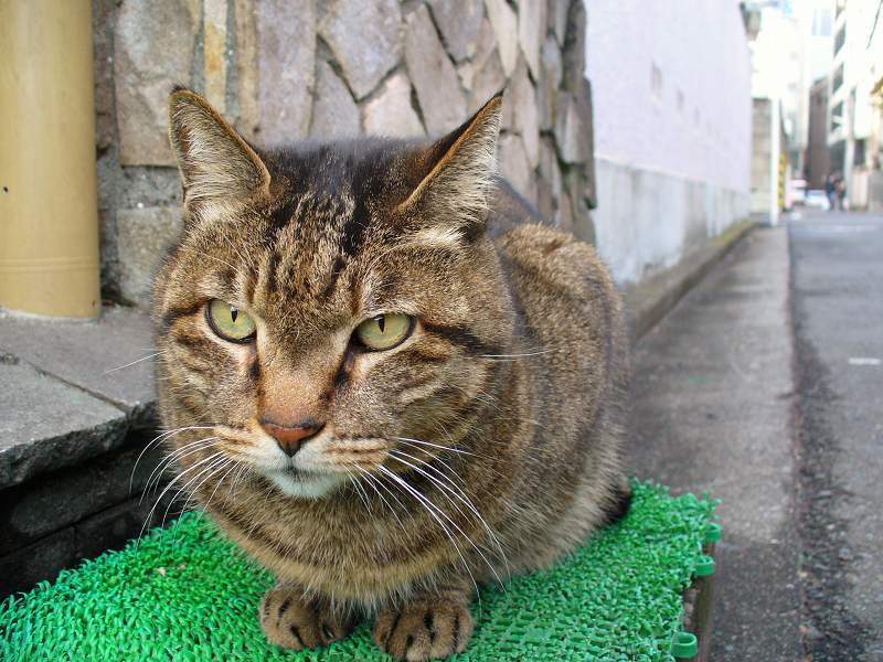 門番のキジトラ猫2