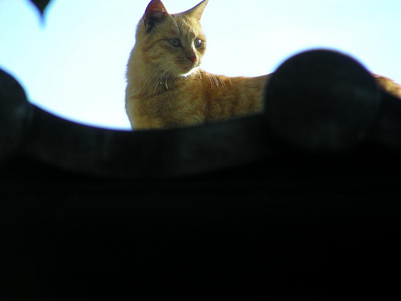 屋根瓦を歩く茶トラ猫4